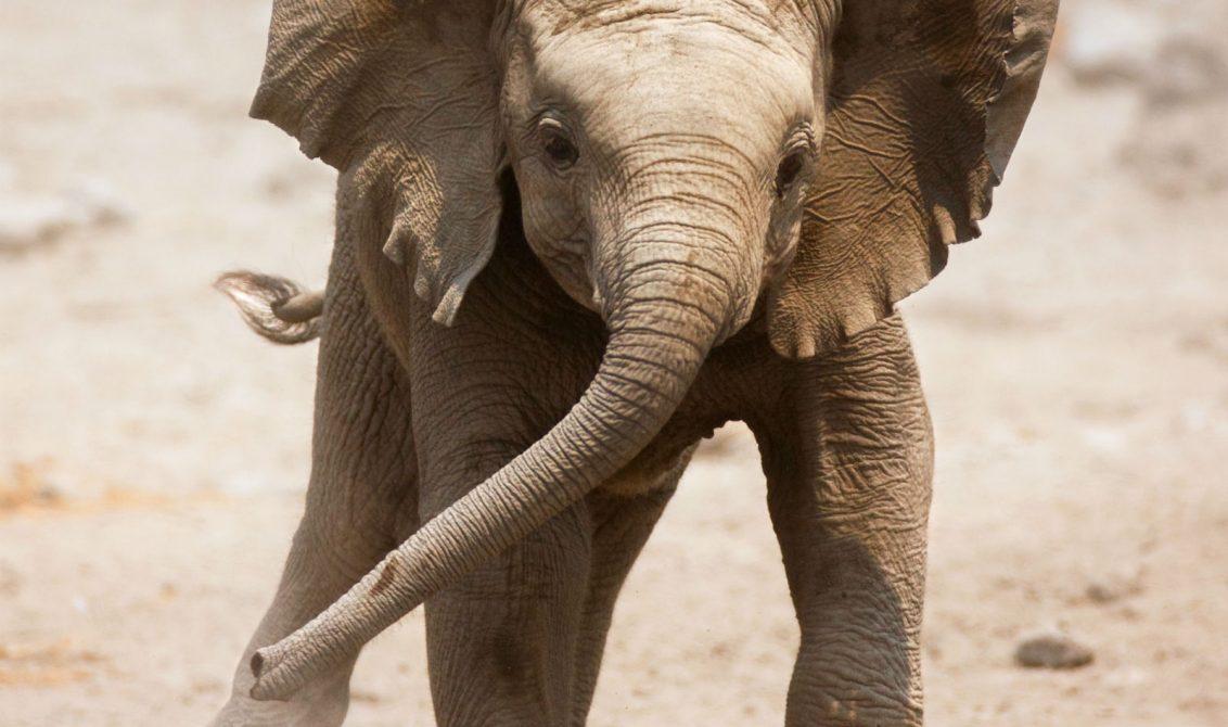 El hogar del Primer elefante nacido en Colombia será la hacienda de Pablo Escobar