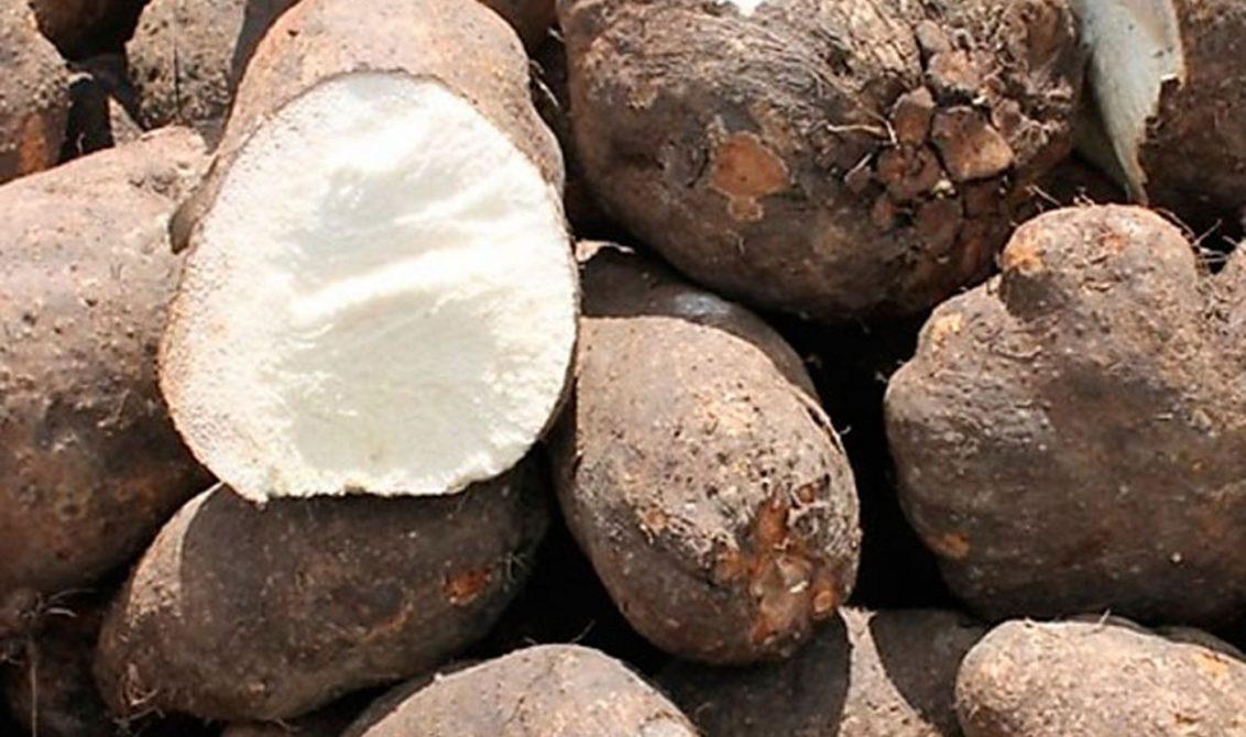 500 familias se beneficiarán con proyecto de cultivo de ñame en San Pelayo  - LARAZON.CO