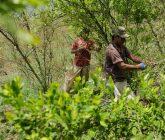 Cultivos-de-Coca-campesinos-165x140.jpg
