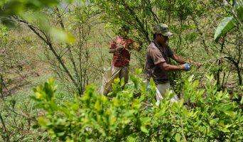 Cultivos-de-Coca-campesinos-342x200.jpg
