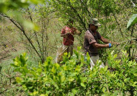 Cultivos-de-Coca-campesinos-444x311.jpg