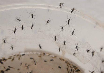 mosquito-dengue-444x311.jpg