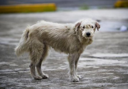 perro-callejero-444x311.jpg