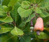 cashew-nut-855733_1920-165x140.jpg