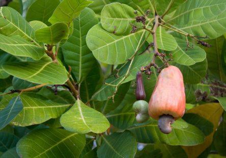 cashew-nut-855733_1920-444x311.jpg
