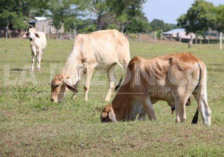 vacas-444x311.jpg