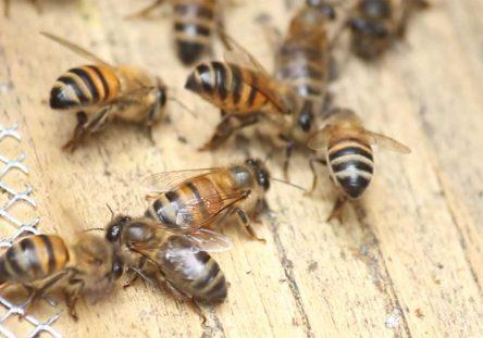 abejas-7-1-444x311.jpg