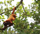 Monos-aulladores-mueren-en-Lorica-165x140.jpg