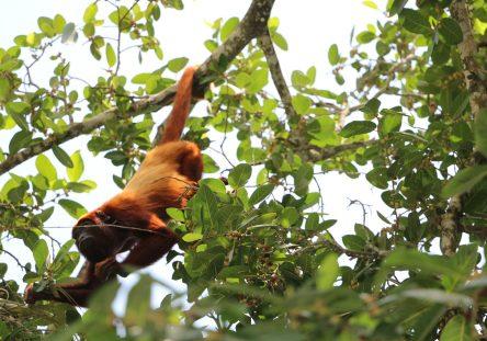 Monos-aulladores-mueren-en-Lorica-444x311.jpg