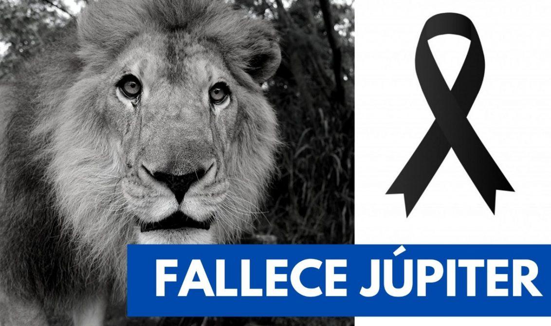 Muere en Cali Jupiter, el león