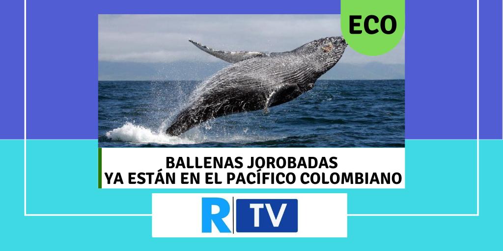 Ballenas jorobadas ya están en el pacífico colombiano