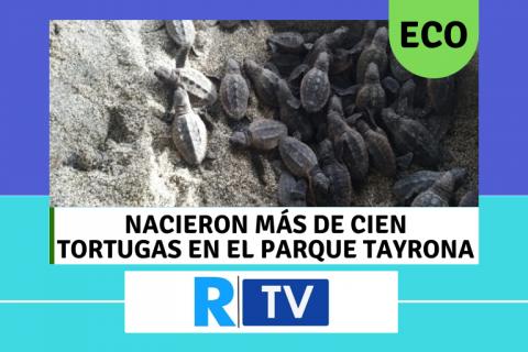 Nacieron más de cien tortugas en el parque Tayrona